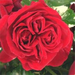Роза чайно-гибридная Эли Семун