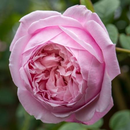 Роза английская Spirit of Freedom