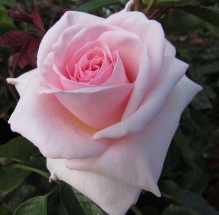 Роза чайно-гибридная Невеста