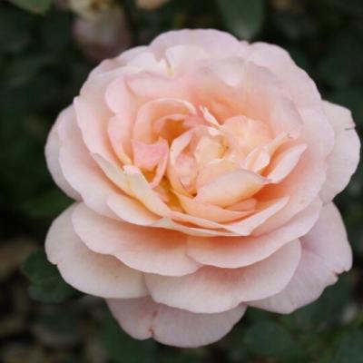 """Роза английская/шраб """"Леандр""""\""""Leander"""""""