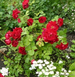 Роза канадская Шамплейн