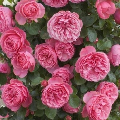 Роза Леонардо да Винчи (шраб)