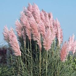 Кортадерия розовая (пампасная трава) \ Cortaderia selloana Rosea