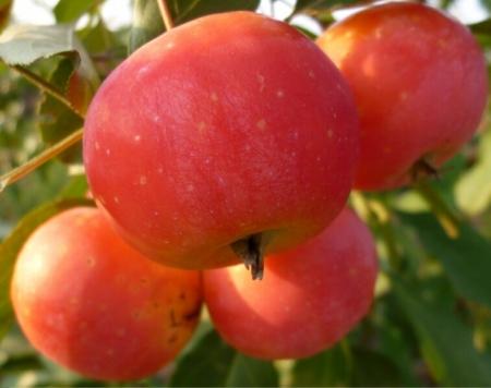 """Райское яблоко """"Вирджиния"""""""