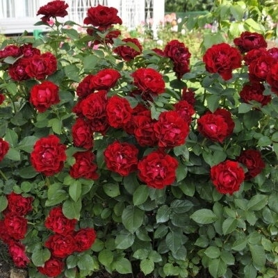 Роза чайно-гибридная Хайнц Винклер