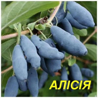 """Жимолость съедобная """"Алисия"""""""
