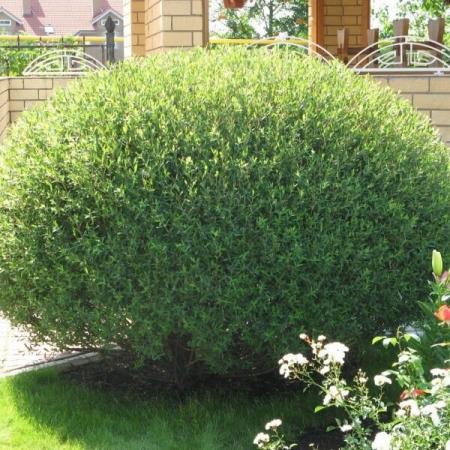 Ива пурпурная Нана \ Salix purpurea Nana
