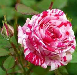 Роза чайно-гибридная Хаим сутин