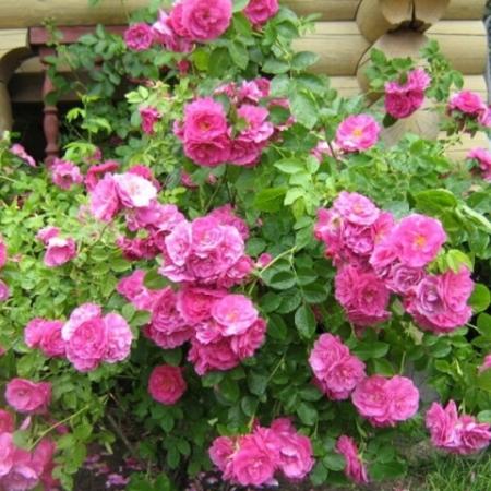 Роза канадская Джон Кабот
