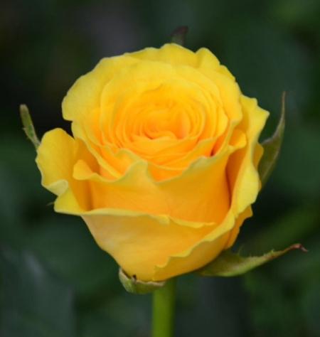"""Роза миниатюрная """"Сфинкс голд""""\""""Sphinx Gold"""""""