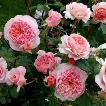 Роза флорибунда Вильям Морис