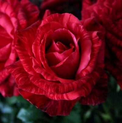 "Роза чайно-гибридная ""Ред Интуишн""\""Red Intuition"""