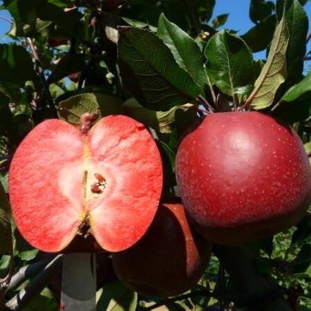 "Яблоня красномясая ""Тринити"""