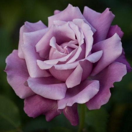 """Роза чайно-гибридная """"Шарль де Голль""""\""""Charles De Gaulle"""""""