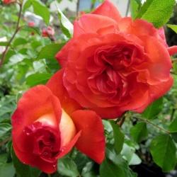 Роза флорибунда Братья Гримм