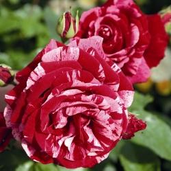 Роза флорибунда Дип Импрешн