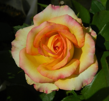 Роза чайно-гибридная Тризор
