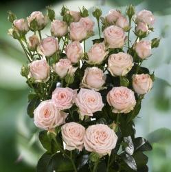 Роза бордюрная Яна