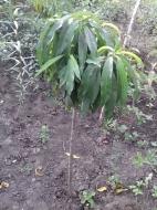 Персик колоновидный на штамбе, 120см
