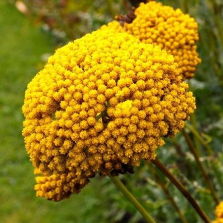 Тысячелистник желтый
