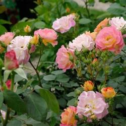Роза флорибунда Бордюр Камей/Bordure Camaieu