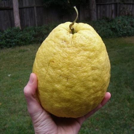 Лимон Пандероза