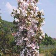 Сакура колоновидная