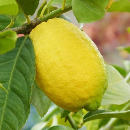 Лимон Новогрузинский