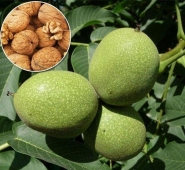 Выбираем саженцы фруктовых деревьев