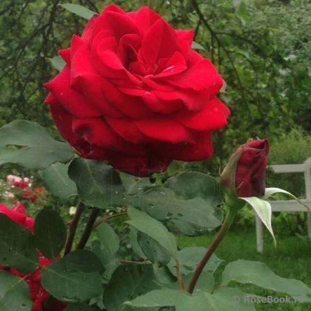 Роза чайно-гибридная Эдит Пиаф