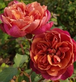 Роза миниатюрная Ча-ча