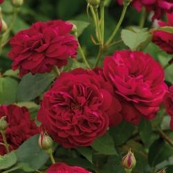 Роза английская Darcey Bussell