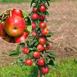 "Колоновидная яблоня ""Элита"""