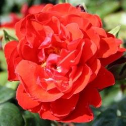 Роза флорибунда Корус