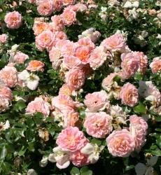 Роза английская Концерто