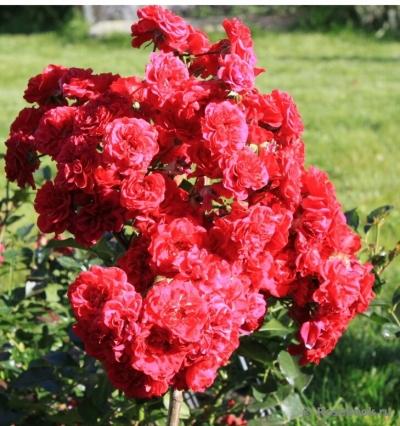 Роза почвопокровная Хеллоу