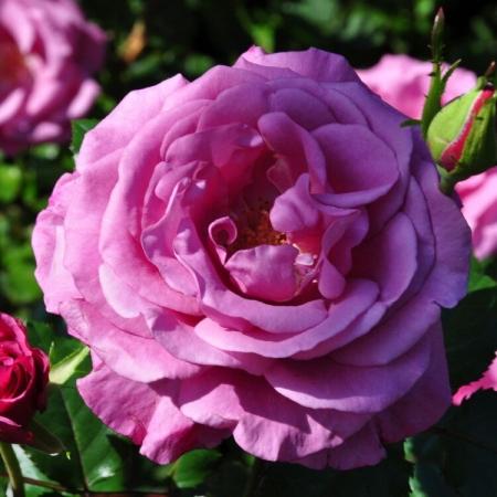 Роза чайно-гибридная Шокинг Блю