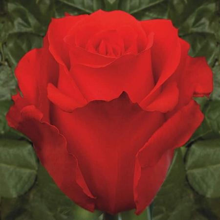 Роза чайно-гибридная Стар 2000/Star 2000