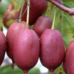 Актинидия плодонос Аргута Пурпурная