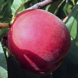 "Персик ""Флеминг Фьюри PF Lucky 13 Yellow Peach"""