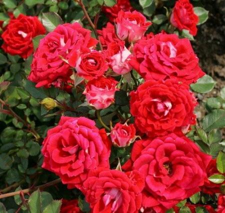 Роза бордюрная, спрей  Мейди