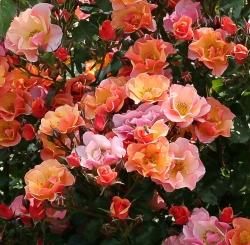 Роза почвопокровная Jazz/Джаз