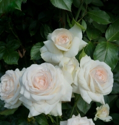 Роза плетистая Лебединое озеро