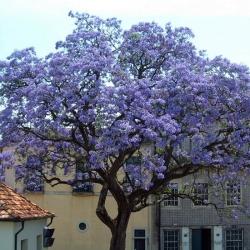 Павлония или Адамово дерево