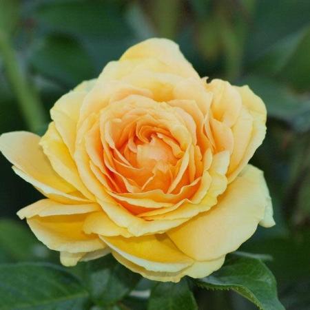 Роза чайно-гибридная Габи Марлей