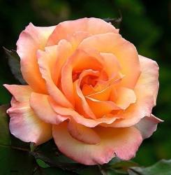Роза Эприкот Ч-Г