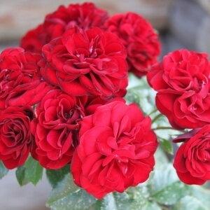 Роза бордюрная, спрей  Лава Глоу