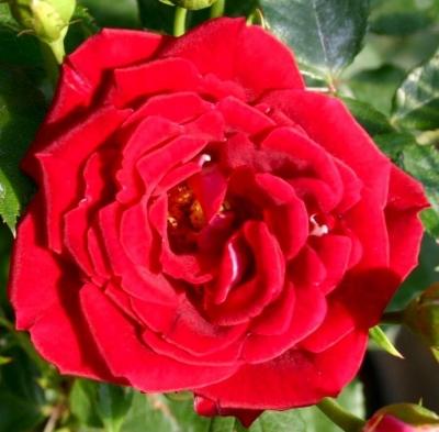Роза миниатюрная Мейди