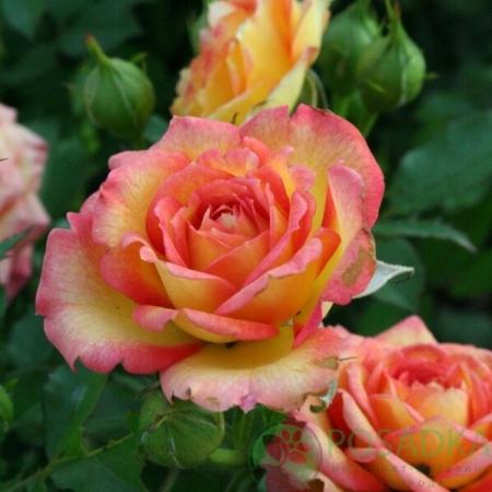 Роза миниатюрная Сонья