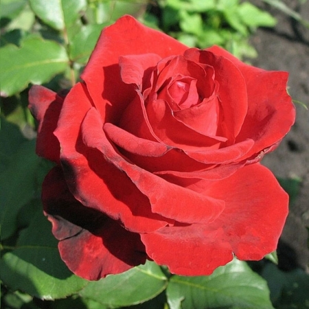 Роза чайно-гибридная Крымский Рубин